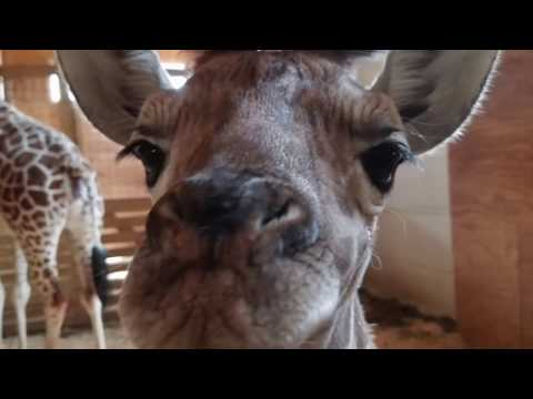 Thumbnail: Beautiful picture of the baby Giraffe - Tribute to Animal Adventure Park