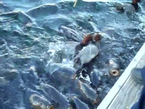 Feeding the catfish at lake mead las vegas youtube for Fishing lake mead