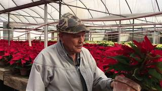 At Eisley Nursery, poinsettias grow the old fashioned way