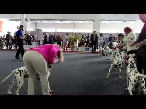 Euro Dog Show 2016 Brussels- Dalmatians Champion class males