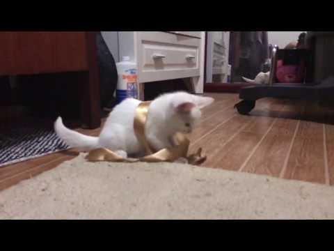 Vanilla the persian siamese mix kitten