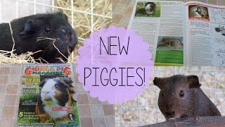 New Guinea Pigs! |  Vlog