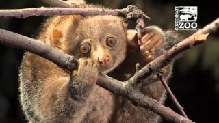 First Ultrasound on a Potto - Cincinnati Zoo thumbnail