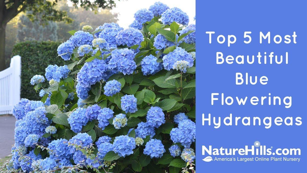 Top 5 Most Beautiful Blue Flowering Hydrangeas Naturehills