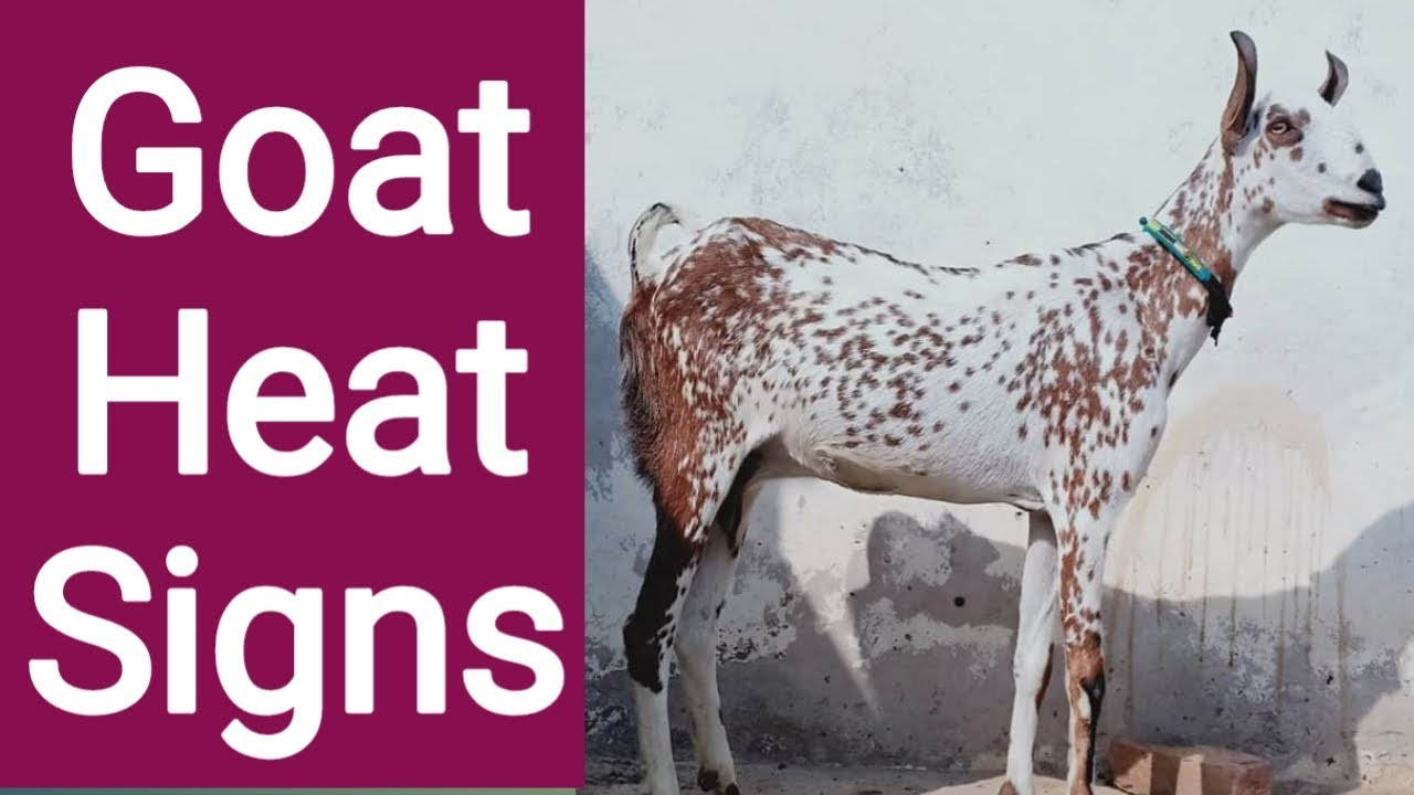 Goat Breeding Signs Of Heat | Goat heat signs | Goat heat period | Goat on  heat signs