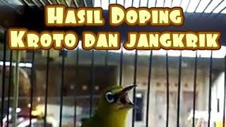 Gambar cover Pleci hasil doping Alami kroto dan jangkrik