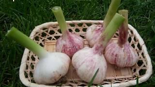 Выращиваем чеснок!!! We grow garlic !!!