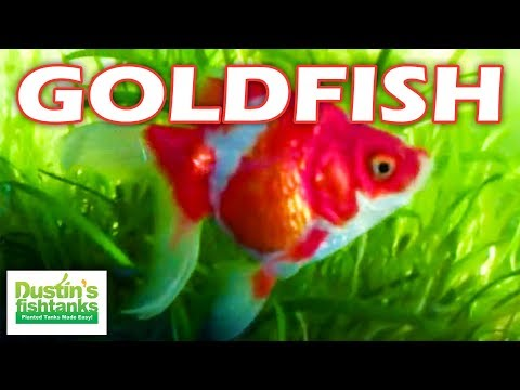 how to breed gold fish Learn how to care for a comet goldfish from feeding to breeding, you will find  all of the information that you need here.