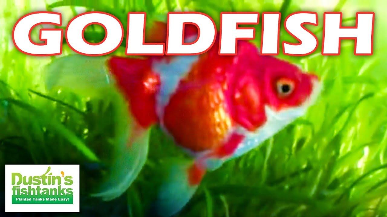 How To Breed Fancy Goldfish Red Ryukin Goldfish Babies