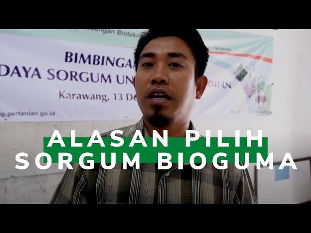 Petani di Purwakarta Pilih Sorgum Rakitan Balitbangtan
