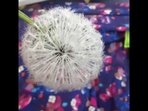 How to make a realistic looking silk dandelion clock youtube how to make a realistic looking silk dandelion clock mightylinksfo