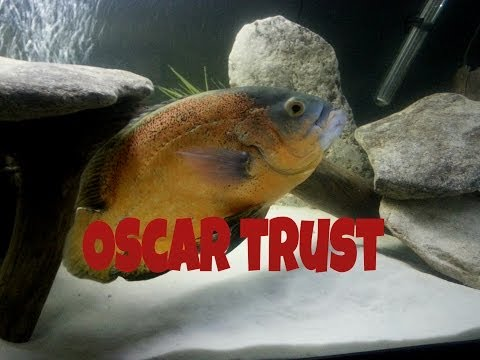 How To Pet An Oscar Cichlid - The Fishman Method Episode 2