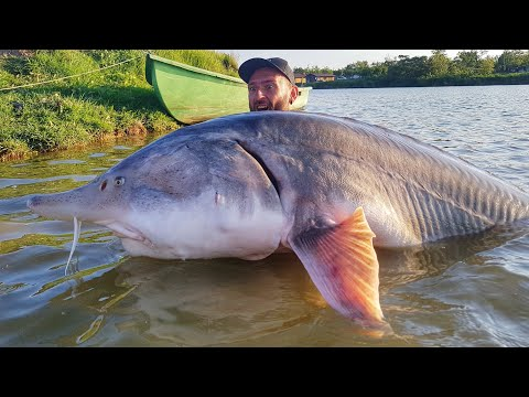 STORIONE BELUGA GIGANTE 160 Kg X 2,50 Mt RECORD - HD By CATFISHING WORLD