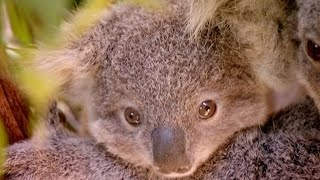 The 'George Clooney' Of Koalas | Nature's Miracle Babies | BBC Earth