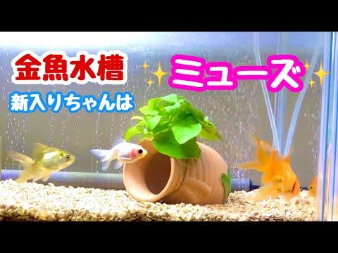 金魚 ミューズ