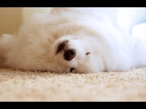 Grooming a Samoyed - Who Hates Being Groomed...