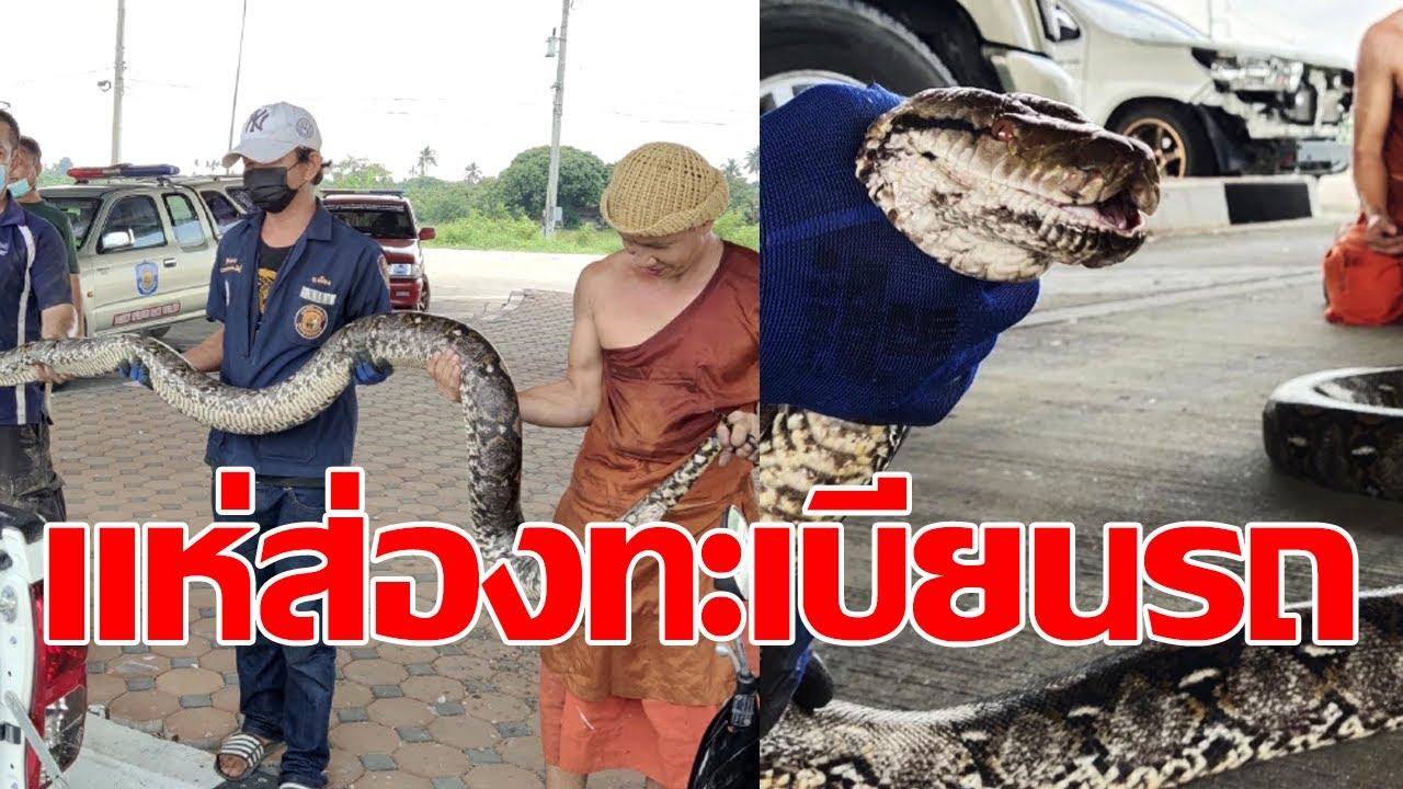 คอหวยแห่ส่องทะเบียน งูเหลือมยักษ์ มุดใต้ท้องรถ
