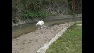 水遊び大好き!!サブザブですwww 「ボルゾイの川遊び Part②」では、弟...