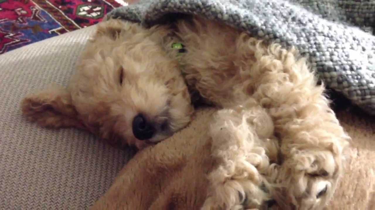 Worlds cutest mini goldendoodle ever napping and resting youtube