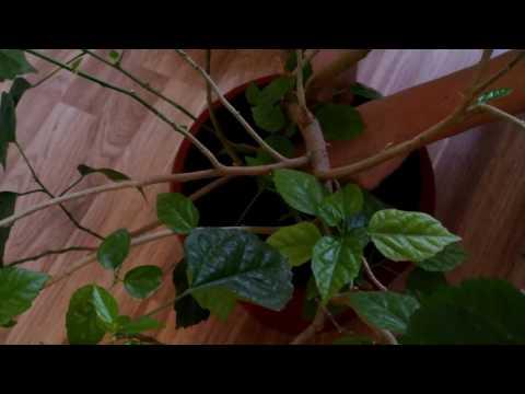 ГИБИСКУС Пересадка гибискуса Hibiscus Китайская роза
