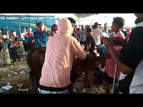 juara karapan sapi  sepulu bangkalan madura
