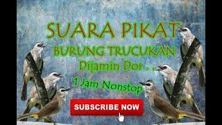 Download Lagu Suara Pikat Burung Trucukan mp3