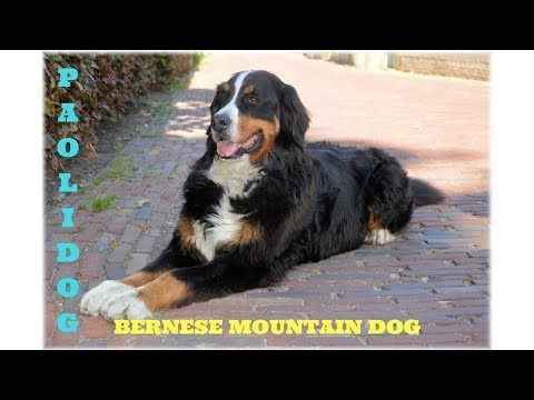 BERNESE MOUNTAIN DOG   (Top 10 interesting facts)