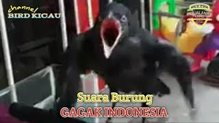 Download Lagu Suara Burung Gagak Indonesia mp3