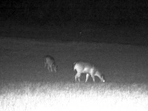 Lots of does hanging out in a field - Bushnell Equinox Z 6x50 digital night vision
