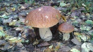 Серия видео роликов про грибы растущие в средней полосе России - Белые грибы