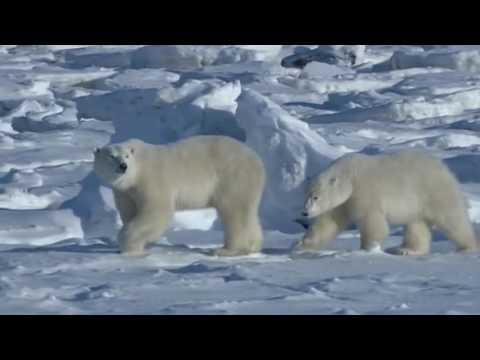 Preserving Polar Bears - Alex Beatty - University of Alberta