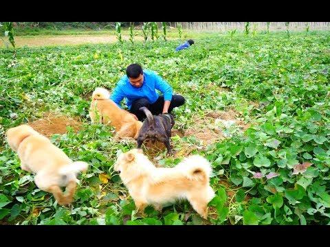 小伙带着狗捕猎,4只中华田园犬前后包围,大老鼠根本无路可逃
