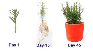 Baixar How to grow Rosemary from cuttings how to propagate rosemary plant - rosemary fragrant plants