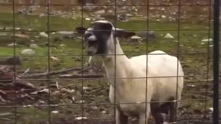 Video La cabra maldita download MP3, 3GP, MP4, WEBM, AVI, FLV November 2017