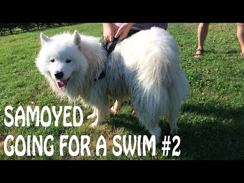 Samoyed Goes For A Swim #2