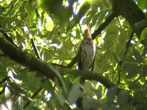 birds nl... song thrush sings