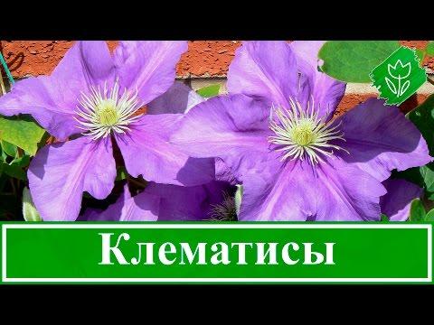 Цветок клематис – посадка и уход, выращивание: обрезка и размножение