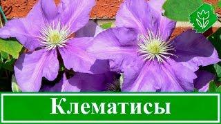 Цветок клематис – посадка и уход, выращивание: обрезка и размножение(, 2016-02-09T17:27:09.000Z)