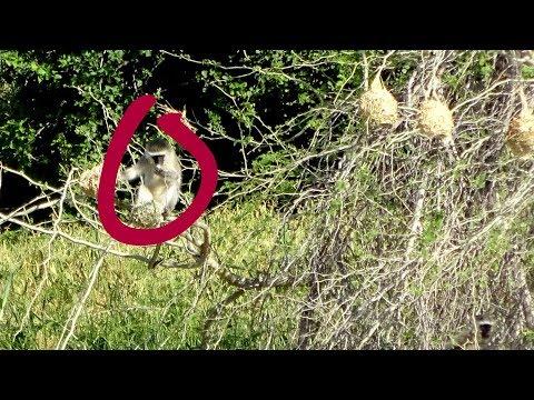 Naughty Vervet Monkeys Raid Weaver Bird Nests To Get Eggs