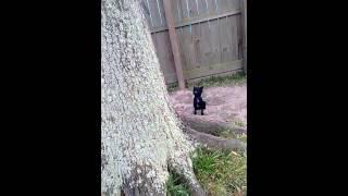 Miniature Schnauzer Barking At Tree