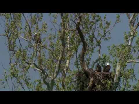 Conservation Connect Series:  American Bald Eagle