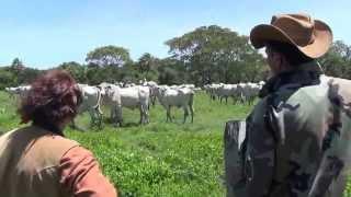 BOLIVIE FARWEST. Premiers marquages et soins aux veaux nouveaux-nés. 04/11/2013