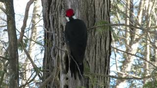 Video Pileated Woodpecker (male) drumming on hollow tree (Ontario, Canada). download MP3, 3GP, MP4, WEBM, AVI, FLV Oktober 2018