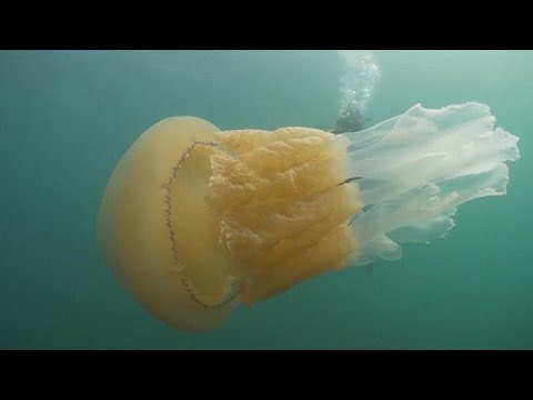 شاهد: لقاء فريد من نوعه بين قنديل بحر هائل الحجم وغواصين بريطانيين …  - نشر قبل 28 دقيقة