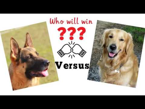 German shepherd vs Golden retriever. Dog comparison based on 33 criteria