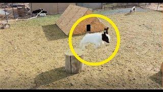 【動物】元気いっぱい!飛んで跳ねる仔ヤギたち【かわいい】 Collection of Baby Goat thumbnail