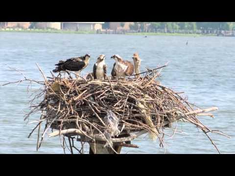 Osprey Love Nest 2: Feeding and Fledging