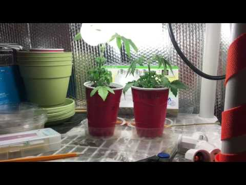Growing Cannabis With Me (Indoor Growing For Cold Seasons)