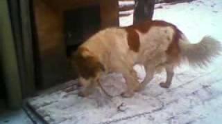 собака московская стороживая