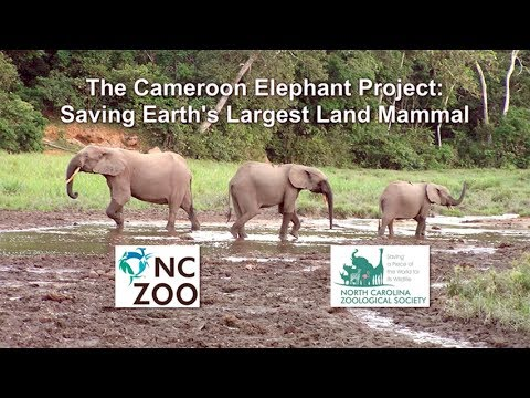 Mt Cameroon Elephant Tracking
